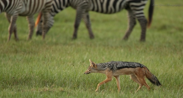 Black-backed Jackal with Grant Zebra