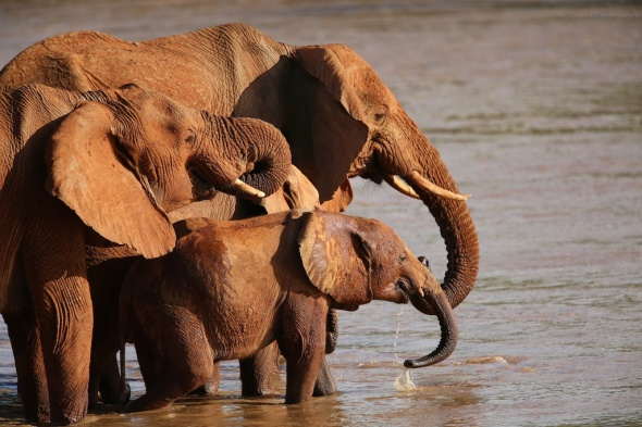 Elephant Family at Watering Hole, Samburu