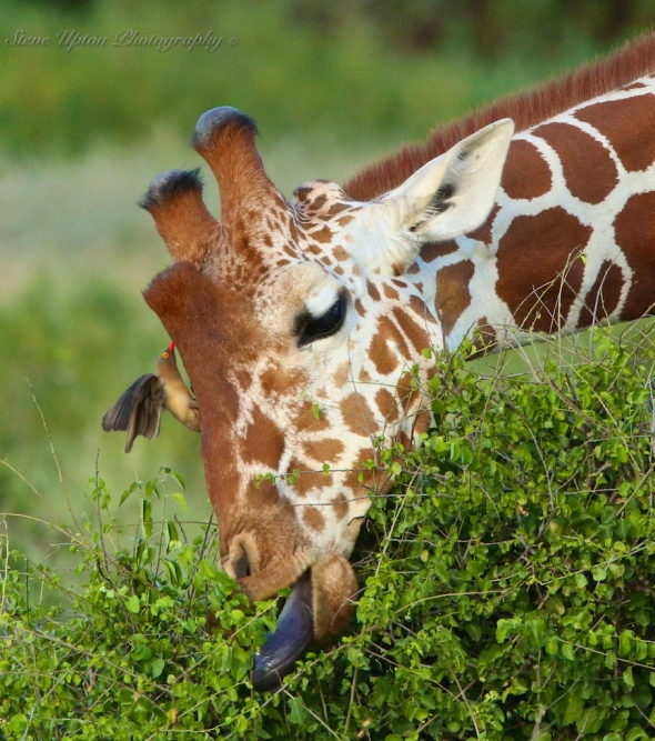 Reticulated Giraffe 2