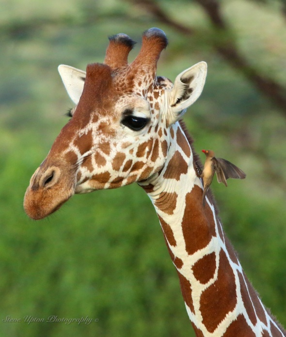 Reticulated Giraffe with Bird on Neck