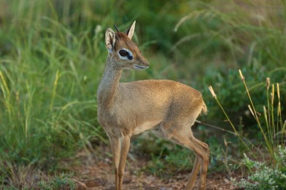 Dik Dik in Samburu National Park