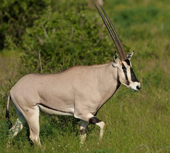 East Africa Oryx in Samburu National Park
