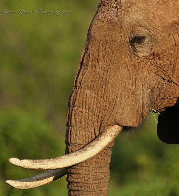 Elephant in Samburu National Park