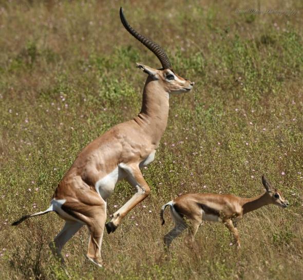 Grant Gazelle in Samburu National Park