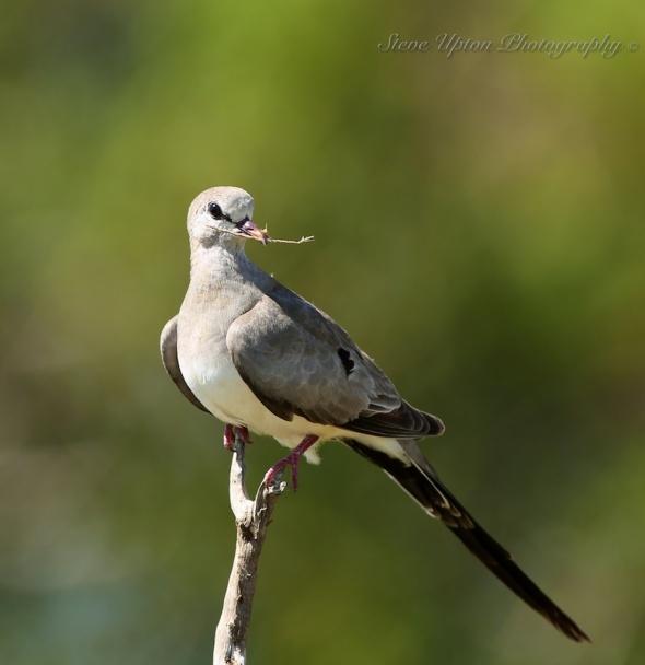 Namaqua Dove in Samburu National Park
