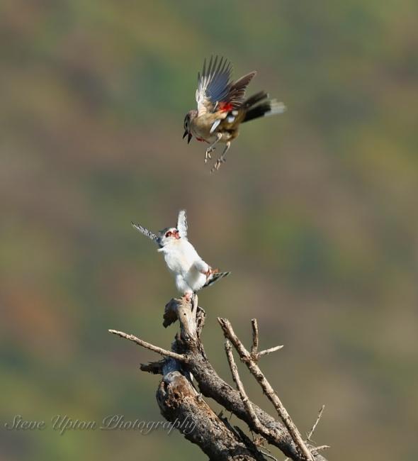 Pygmy Falcon and Rosey-patched Bush Shrike in Samburu National Park