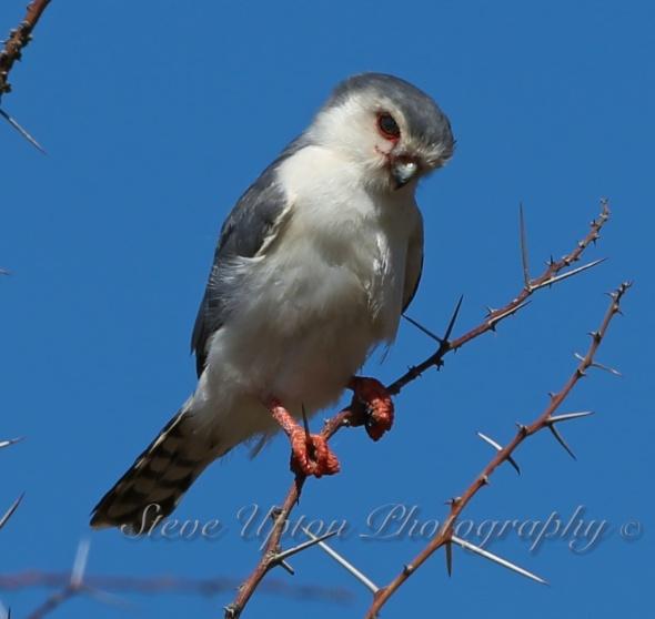 Pygmy Falcon in Samburu National Park