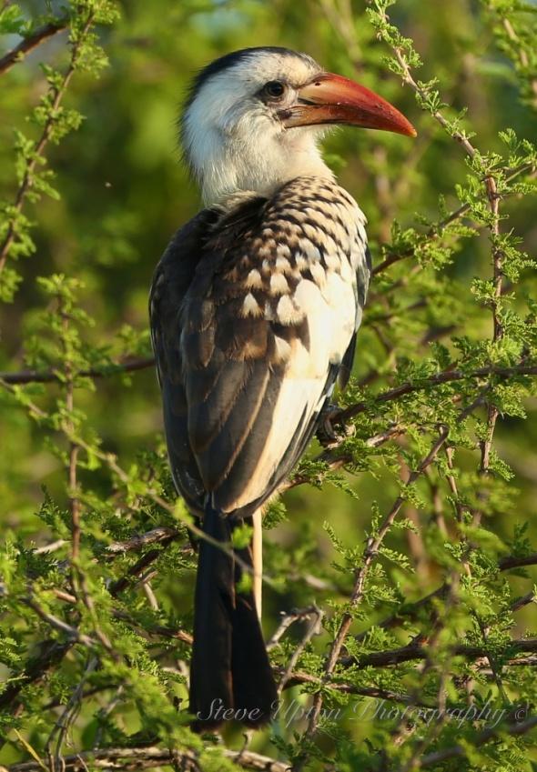 Red-billed Hornbill in Samburu National Park