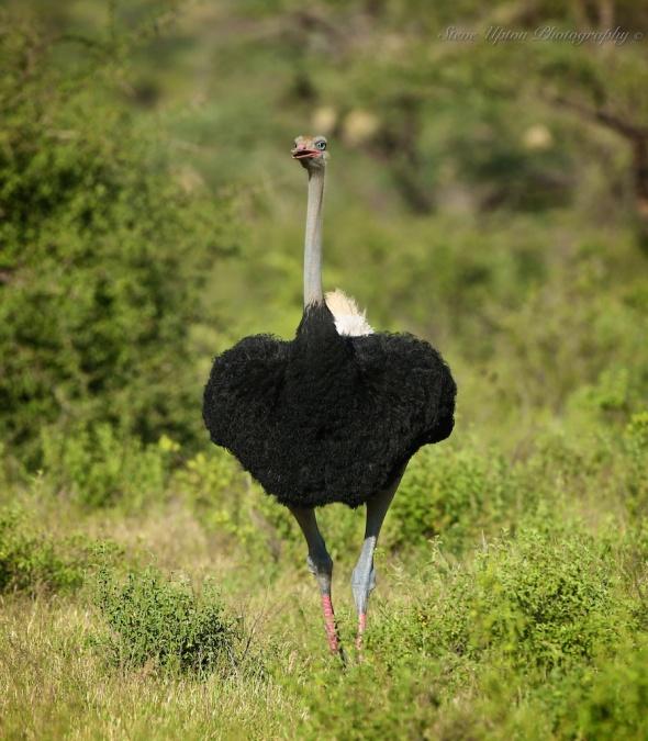 Somali Ostrich in Samburu National Park