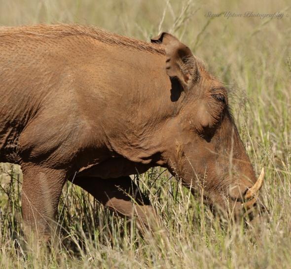 Warthog in Samburu National Park