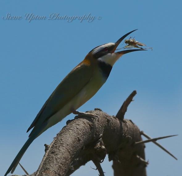 White-throated Bee-eater in Samburu National Park