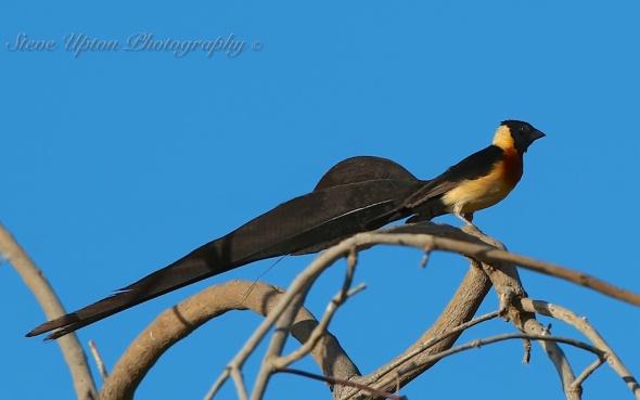 Eastern Paradise Whydah in Samburu National Park