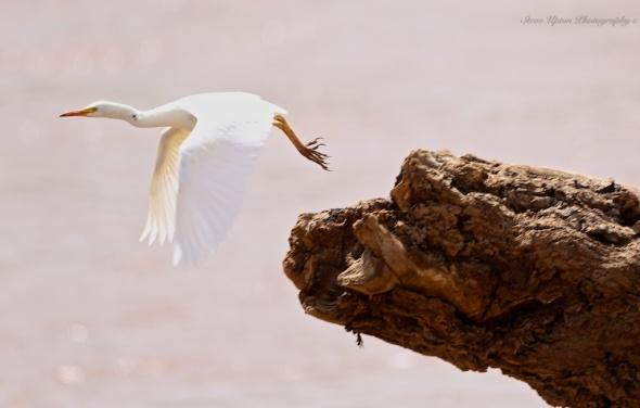 Great White Egret in Samburu National Park