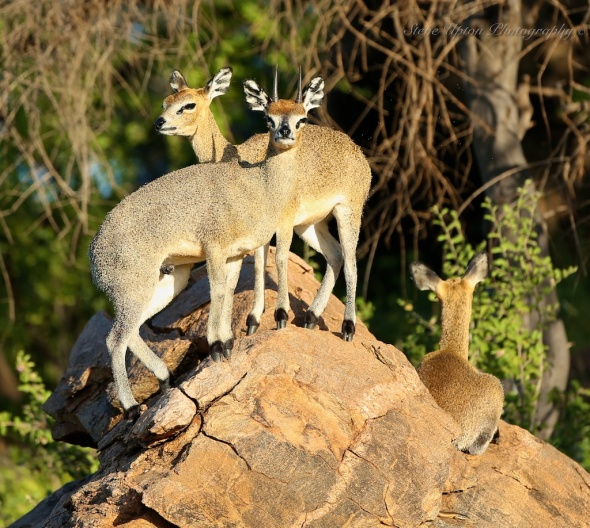 Klipspringers in Samburu National Park