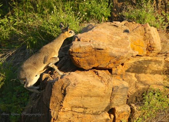 Klipspringer in Samburu National Park