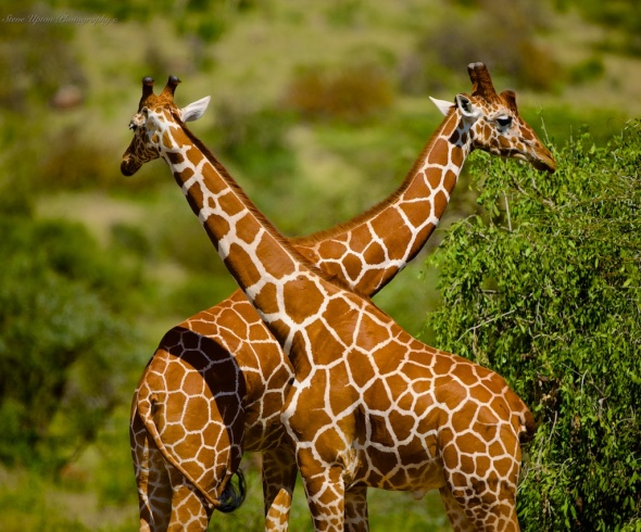 Reticulated Giraffes In Samburu National Park