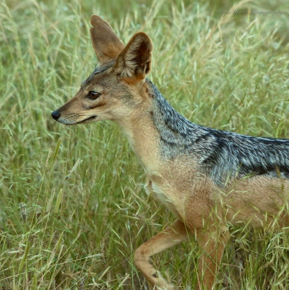 Black-backed Jackal in Samburu National Park