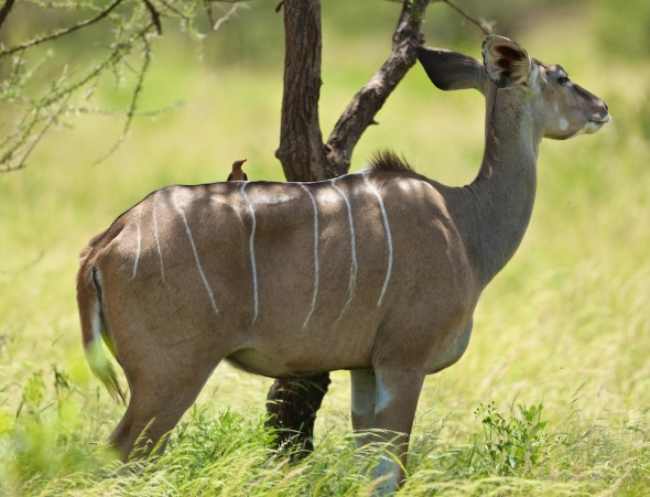Female Greater Kudu in Samburu National Park
