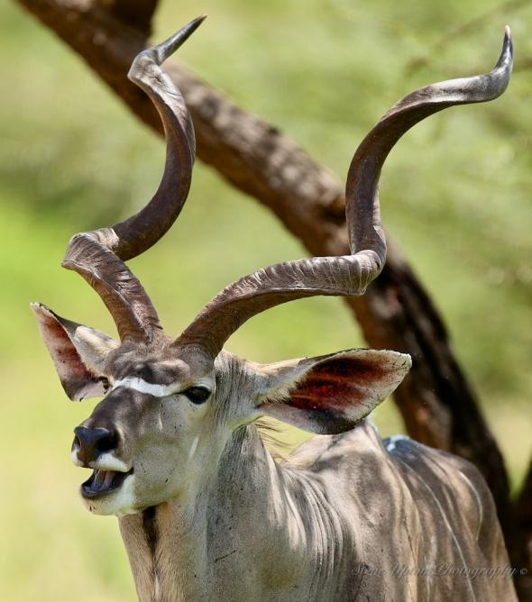 Greater Kudu in Samburu National Park