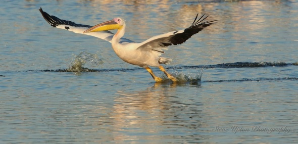African White Pelican takes flight on Lake Nakuru