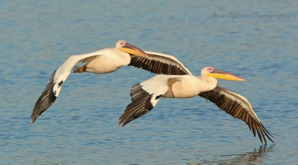 African White Pelicans in flight