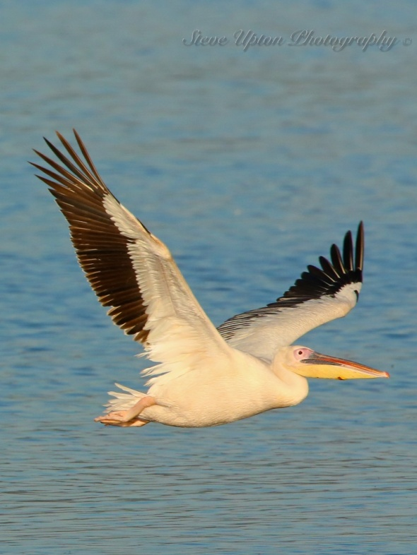 African White Pelican in flight