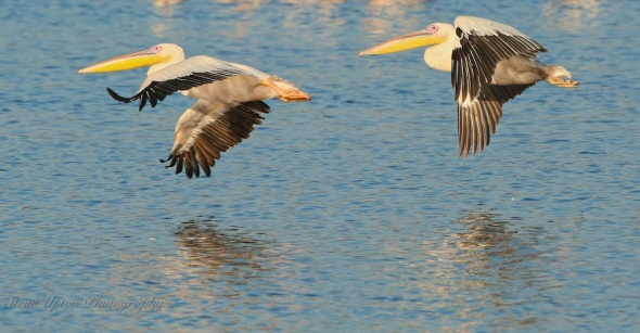African White Pelican in flight over Lake Nakuru