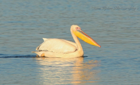 African White Pelican swimming on Lake Nakuru