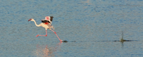 Lesser  Flamingo taking flight on Lake Nakuru