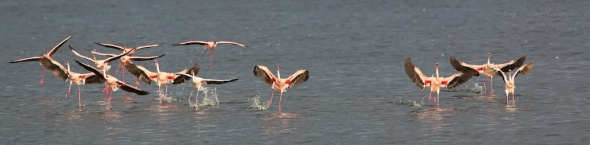 Lesser  Flamingos landing on Lake Nakuru