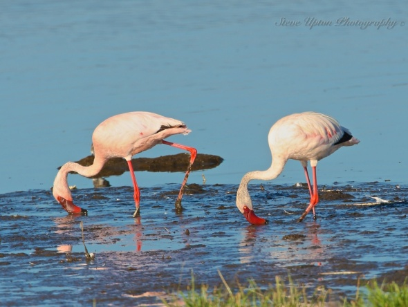 Lesser Flamingos in Lake Nakuru