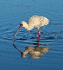 African Spoonbill Lake Nakuru