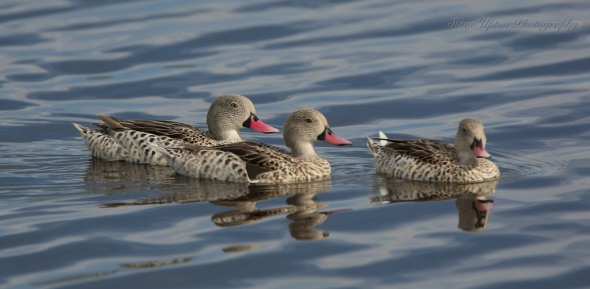 Cape Teal Ducks Lake Nakuru