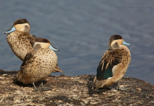 Hottentot Teal Ducks Lake Nakuru