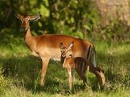 Impalas Lake Nakuru