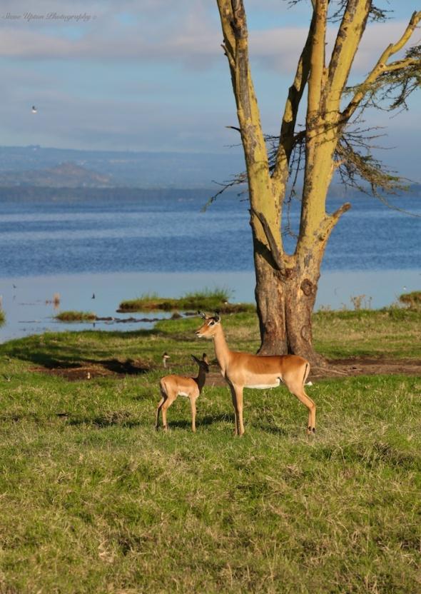 Lake Nakuru and Impalas