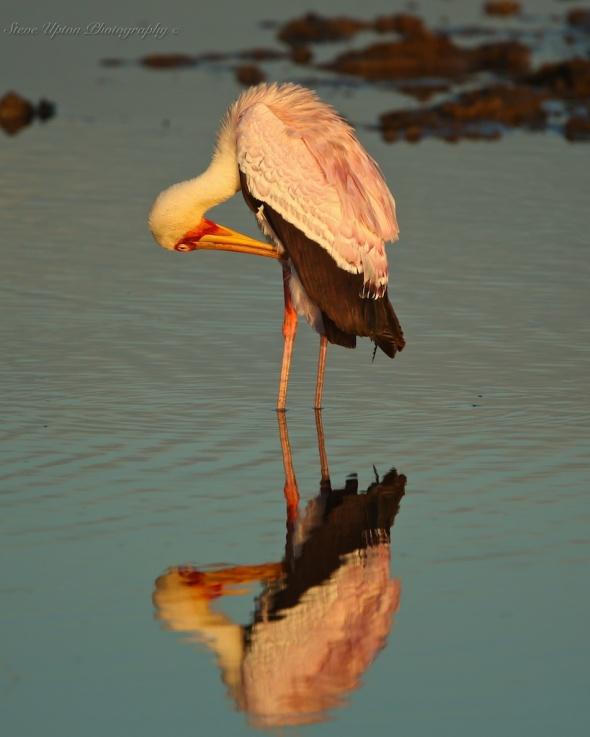 Yellow-billed Stork Lake Nakuru