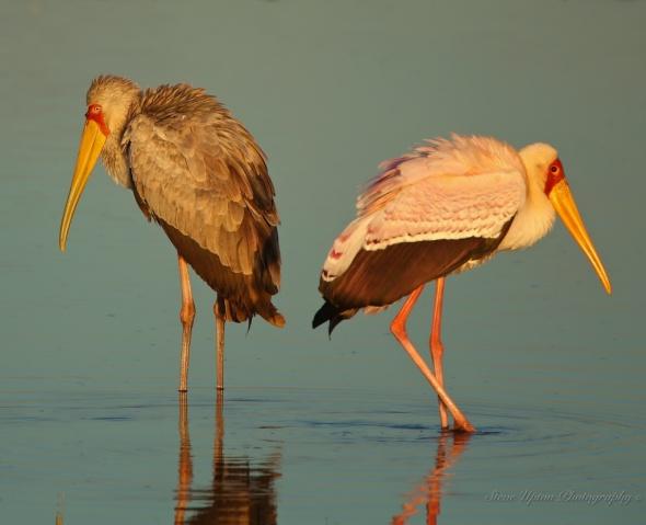 Yellow-billed Storks in Lake Nakuru