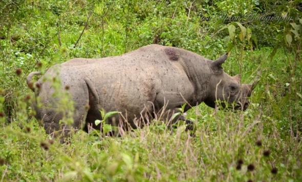 Black Rhinoceros in Lake Nakuru