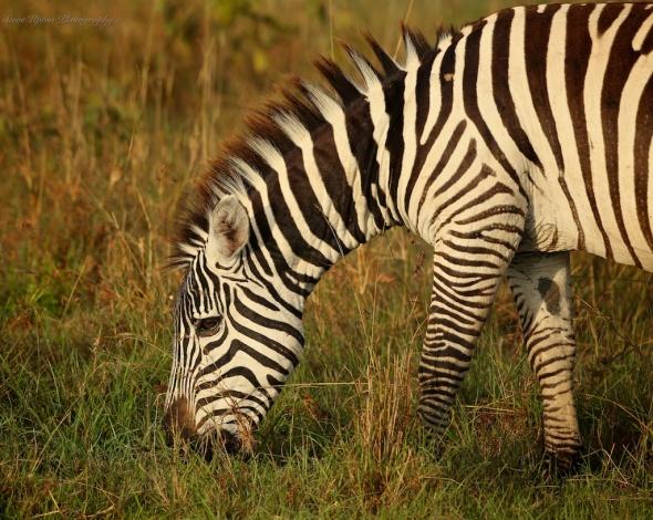 Grant's Zebra at Lake Nakuru