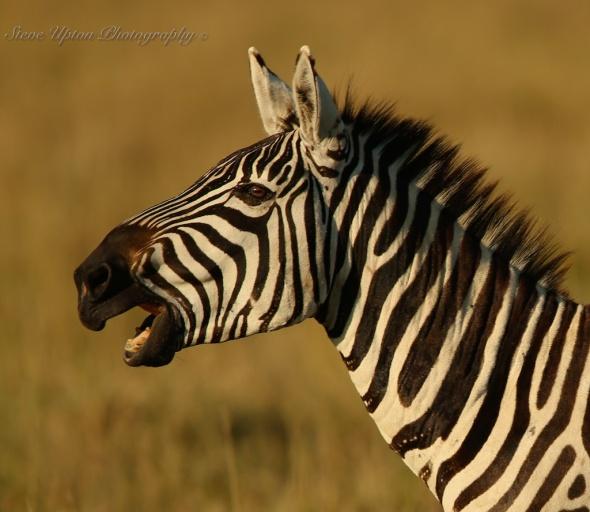 Grant's Zebra in Lake Nakuru