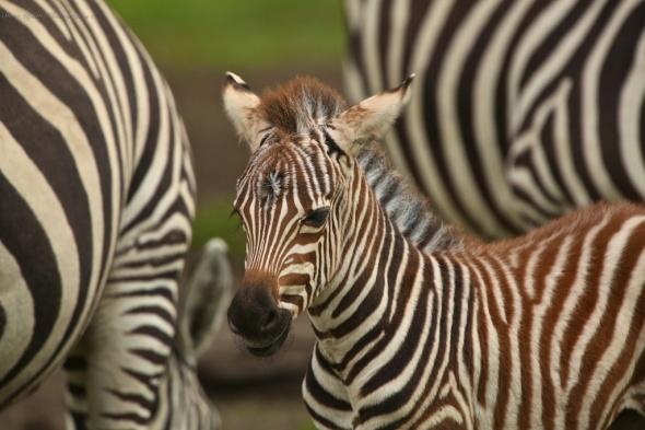 Grant's Zebras in Lake Nakuru