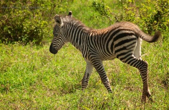Infant Grant's Zebra in Lake Nakuru