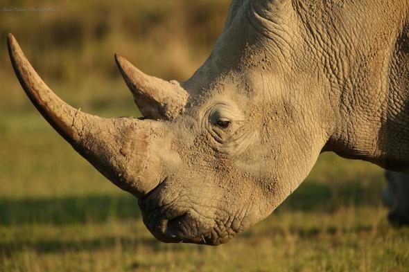 Rhinoceros in Lake Nakuru