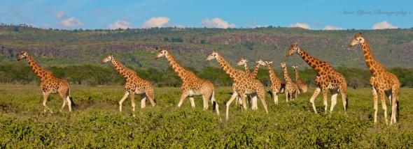 Rothschild's Giraffes at Lake Nakuru