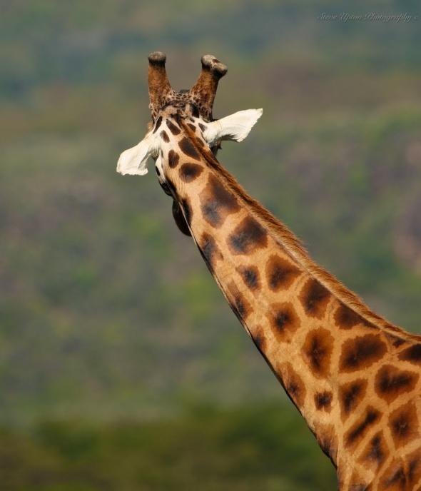 Rothschild's Giraffe in Lake Nakuru