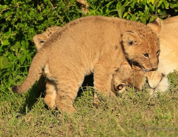 cub playing  Masai