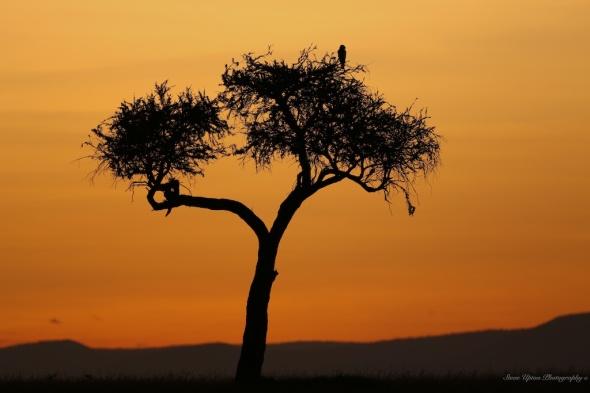 Masai Mara Acacia tree at dawn