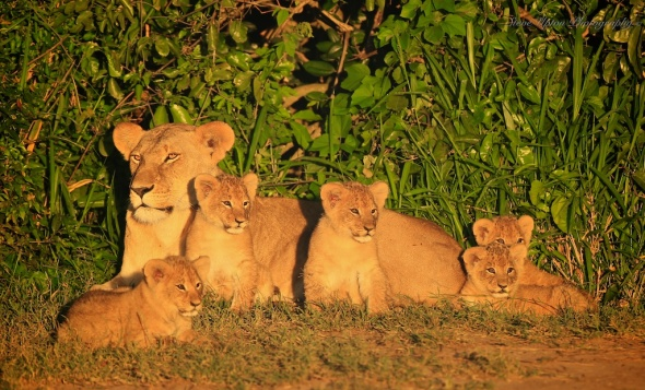 Masai Mara lioness with 5 cubs