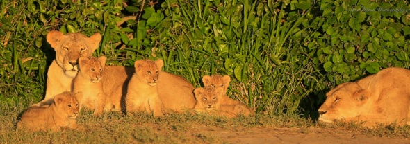 Masai Mara lionesses with 5 cubs